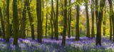 Fototapety Sunlight casts shadows across bluebells in a wood