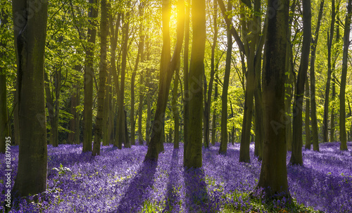 obraz PCV Światło słoneczne rzuca cienie na dzwonki w lesie