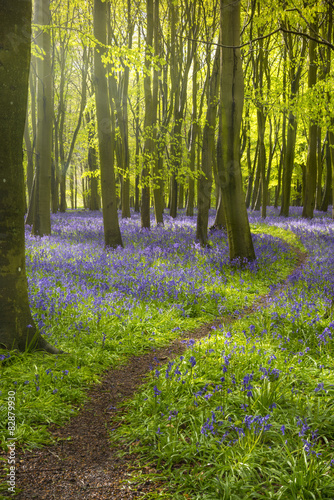 Sunlight casts shadows across bluebells in a wood Poster
