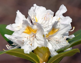 Beautiful white flower of rhododendron
