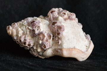gastropod shell covered by barnacles