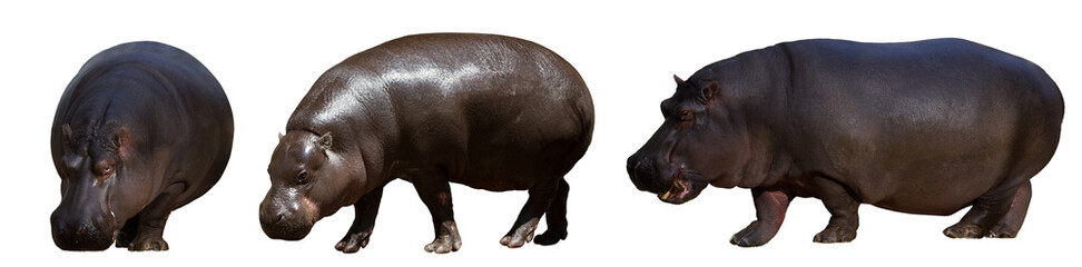 Set of hippopotamus
