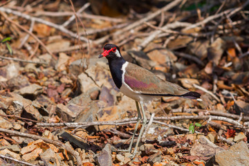 Red-wattled Lapwing(Vanellua indious)