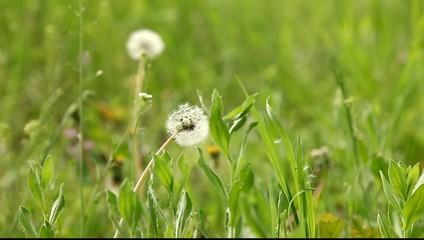 dandelion on the field