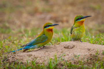Full frame couple of Blue-tailed bee-eater