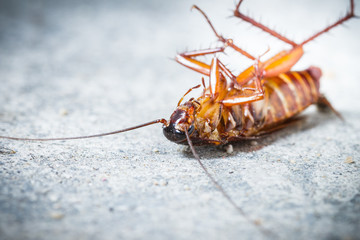 Close up of death cockroach on floor