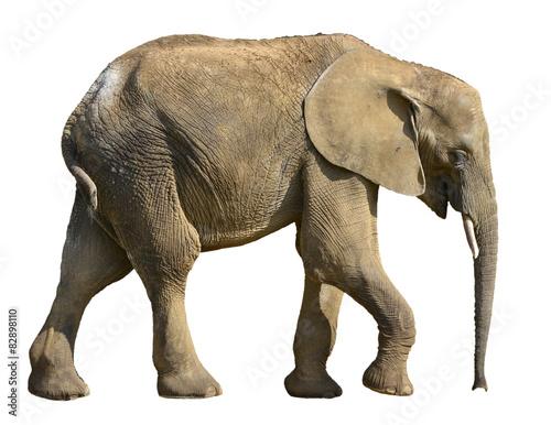 Papiers peints Hyène Isolated African elephant