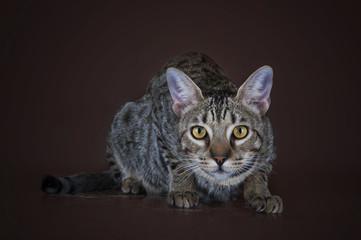 Savannah kitten on a brown background isolated