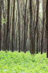 forest trees and foliage summer