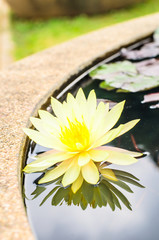 yellow lotus blossom in the pond