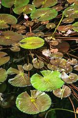 Beautiful green water lilies in the dark water