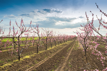 blooming peach orchard