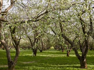 apple trees at springtime