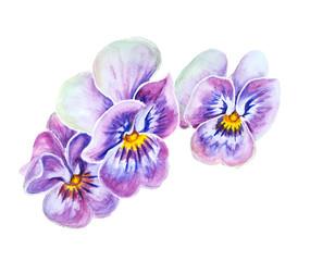 Tender pansies flowers.