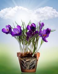 Bulbi in vaso - radici