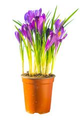 Bouquet of purple crocuses in the ceramic pot