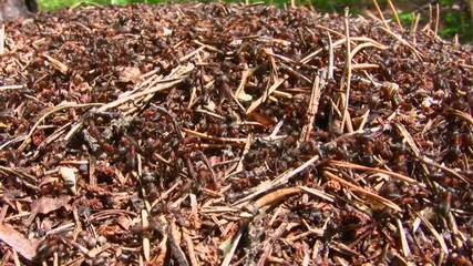 Ants run in an anthill