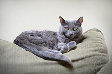 Korat Cat Resting