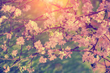 Fototapety Vintage blossoming apple tree