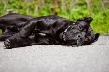 cane corso dog lying down outdoors