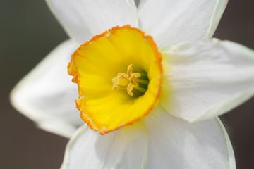 Yellow White Daffodil
