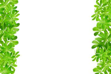 Rahmen aus Waldmeister links und rechts vor weißem Hintergrund