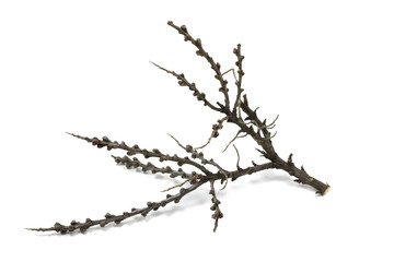 black thorn tree branch on a white background