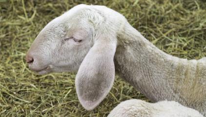 Sheep portrait. Color image