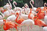 Pink flamingos in Riga zoological garden poster