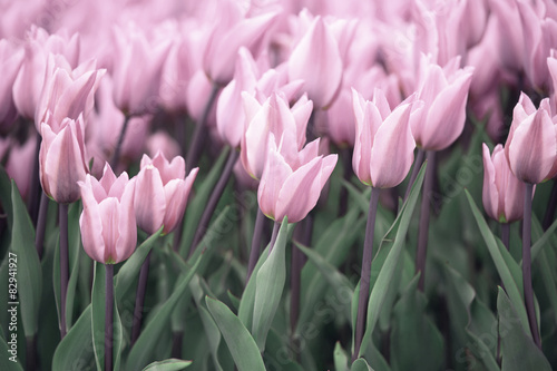 Many soft violet colored tulip flowers - 82941927
