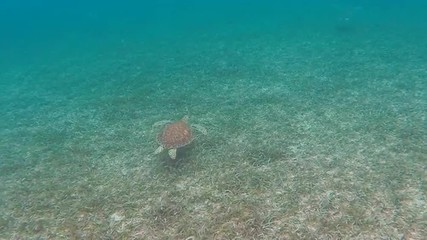 Small green sea turtle swims at along a grass and sandy bottom