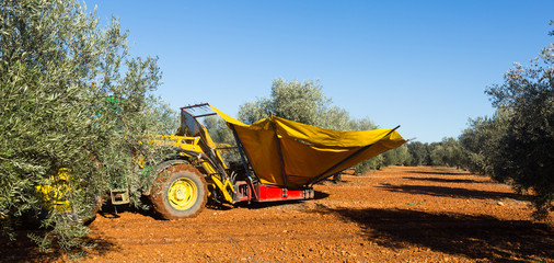 Mechanized collection of olives