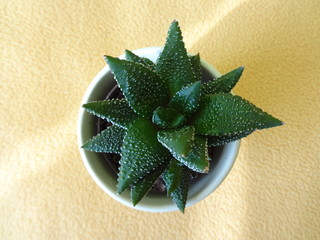 Isolated Cactus in a Pot