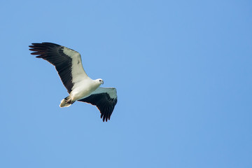 White-bellied Sea Eagle flying on blue sky