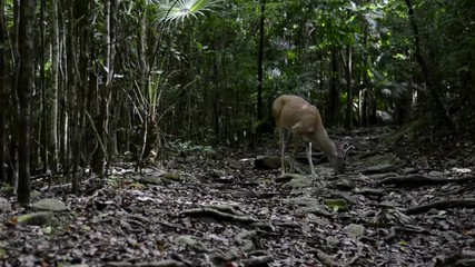 White tailed deer stands in the middle of a caribbean jungle