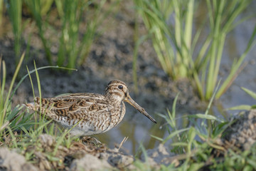 Bird (Common Snipe) find some food on ground