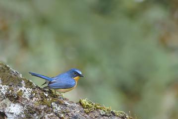 Beautiful bird (hill blue flycatcher) perching on log