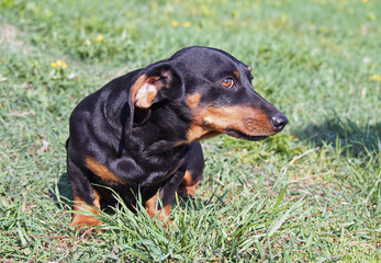 Portrait of small black dachshund on natural green background