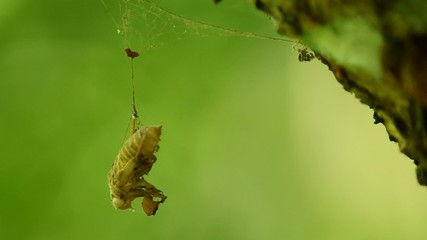 cicadas case is trapped and hang with the spider web