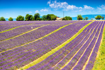 Lavender, summer in Provence, France