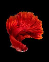 Red siamese fighting fish