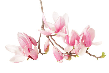 Magnolia, spring flower branch on white, clipping path