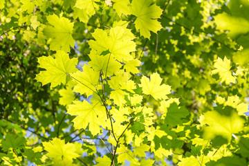 Hintergrund Blätter Frühling Ahorn