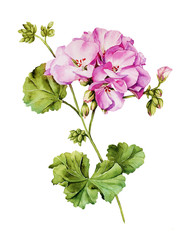 Botanical watercolor painting with Geranium flower