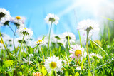 Gänseblümchen, blauer Himmel