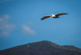 Dalmatian Pelican on Lake Prespa, Greece poster