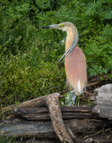 Yellow Heron at Lake Prespa, Greece poster