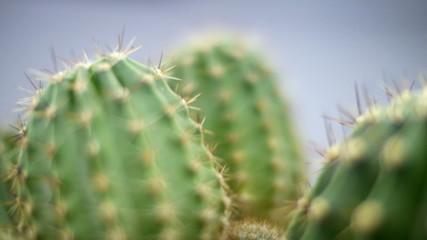 Cactus in a pot at home. Motion jib. Closeup.