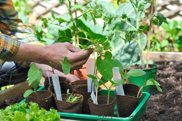 jardinier prenant soin de ses semis dans potager