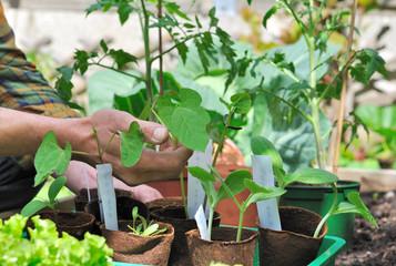 semis dans potager et jardinier touchant les feuilles